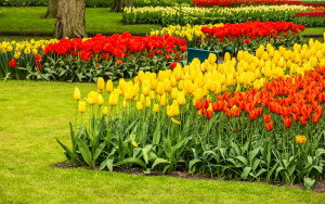Tulips park Keukenhof - largest flower garden in Europe, Holland